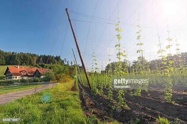 Germany, Baden-Wuerttemberg, Neukirch, hop field