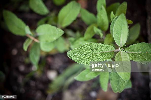 Germany, Baden-Wuerttemberg, Sage, Salvia officinalis, in garden