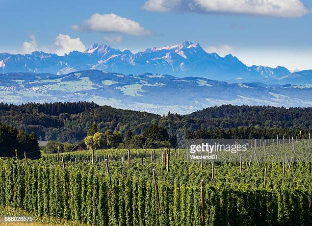 Germany, Baden-Wuerttemberg, Tettnang, hop field with mountains in background
