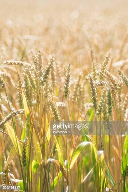Germany, Baden-Wuerttemberg, Wheat field, Triticum aestivum