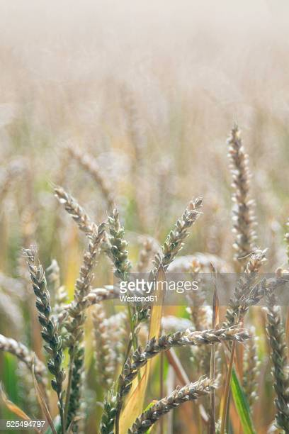 Germany, Baden-Wuerttemberg, Wheat field, Triticum aestivum