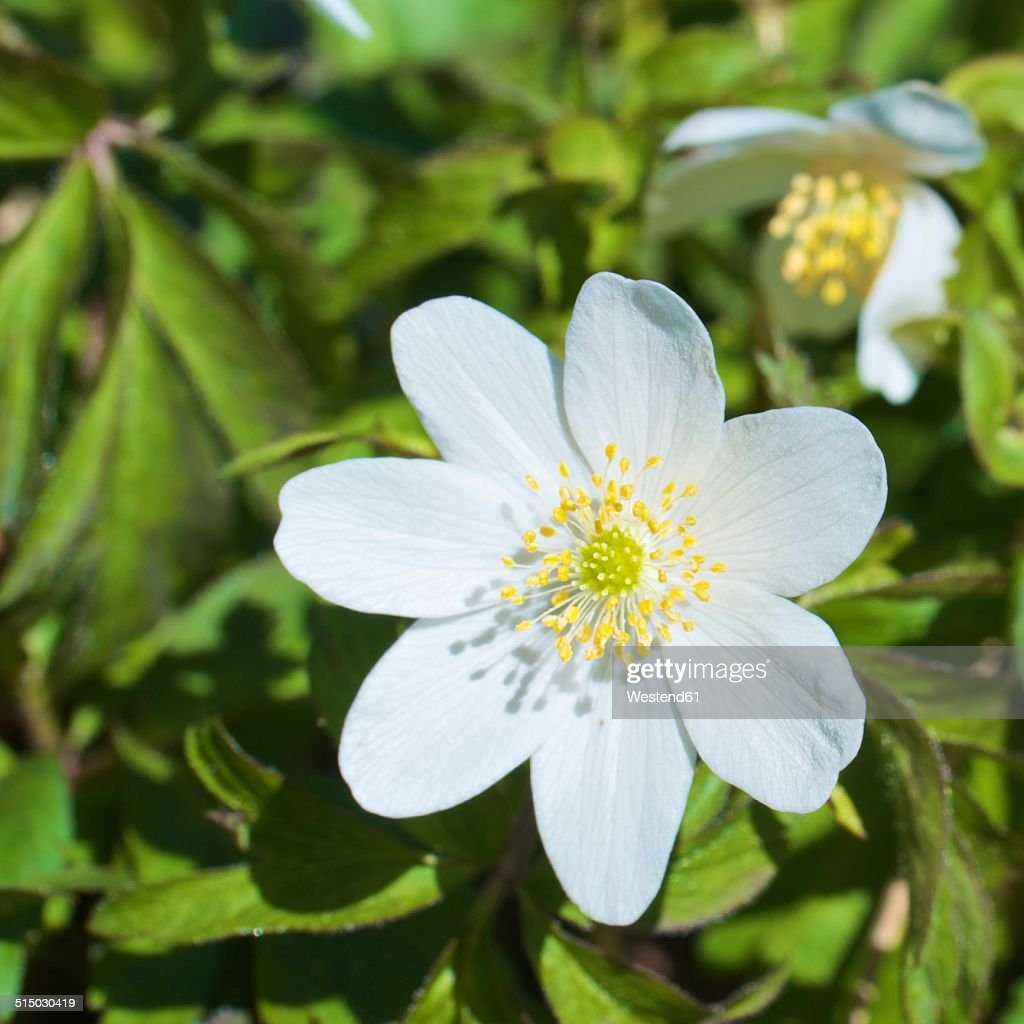 Germany, Baden-Wurttemberg, Freiburg, Wood anemone, close up