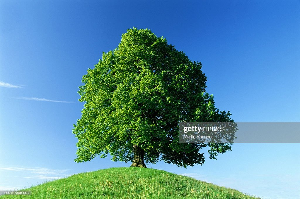 Germany, Bavaria, Allgau, lime tree (Tilia sp.) on hill : Stock Photo