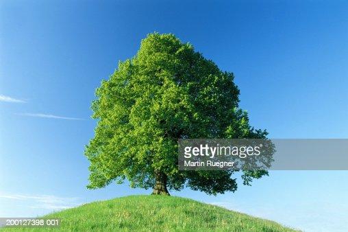 Germany, Bavaria, Allgau, lime tree (Tilia sp.) on hill : Stock Photo