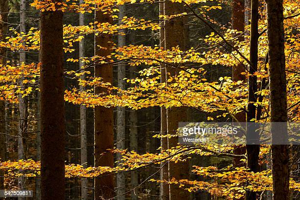 Germany, Bavaria, Bavarian Forest National Park, Autumn forest