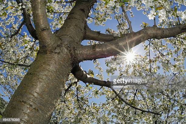 Germany, Bavaria, blossoming cherry tree, view from below