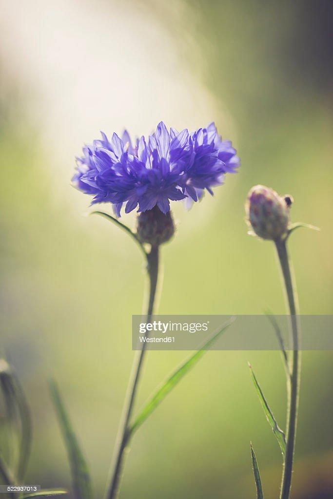 Germany, Bavaria, Cornflower, Centaurea cyanus