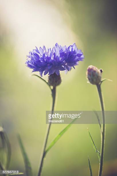 Germany, Bavaria, Cornflower, Centaurea cyanus