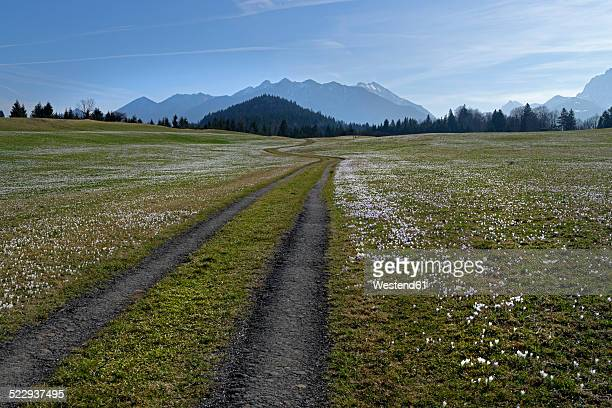 Germany, Bavaria, dirt track and crocus meadow in Gerold in front of the Karwendel mountain range