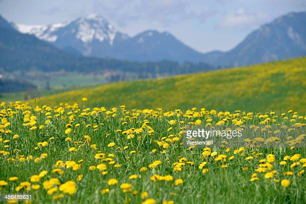 Germany, Bavaria, East Allgaeu, Hopferau, view to flowering dandelions, (Taraxacum officinale) in front of Alps