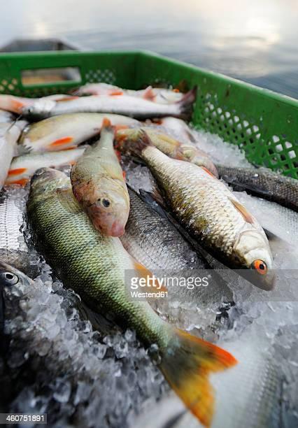 Germany, Bavaria, Fresh fish on fishing boat at Lake Starnberg