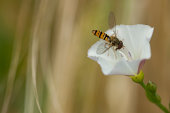 Germany, Bavaria, Hoverfly nectaring on bearbind