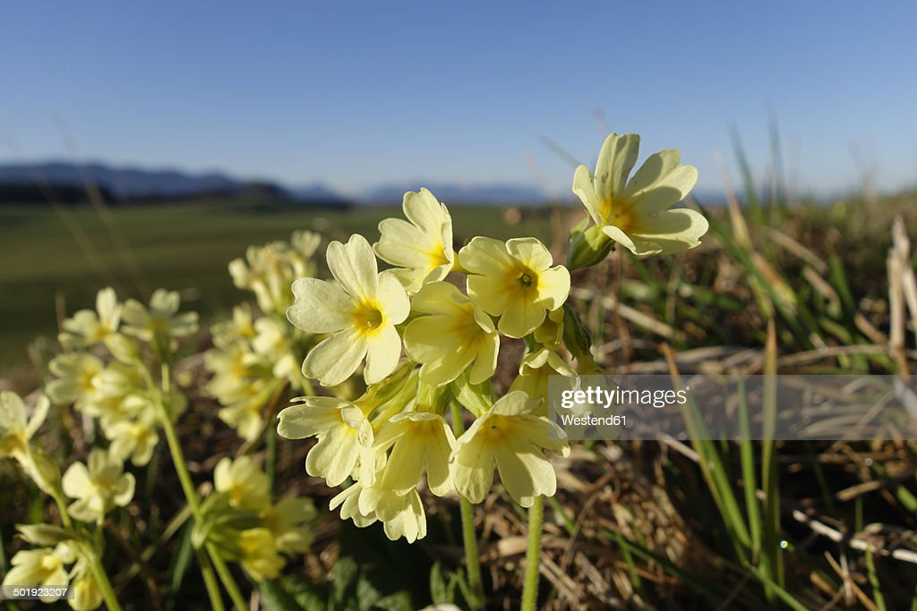 Germany, Bavaria, Koenigsdorf, Oxlips, Primula elatior