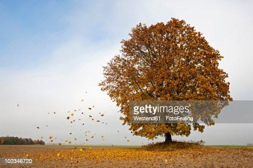 Germany, Bavaria, Maple tree in autumn