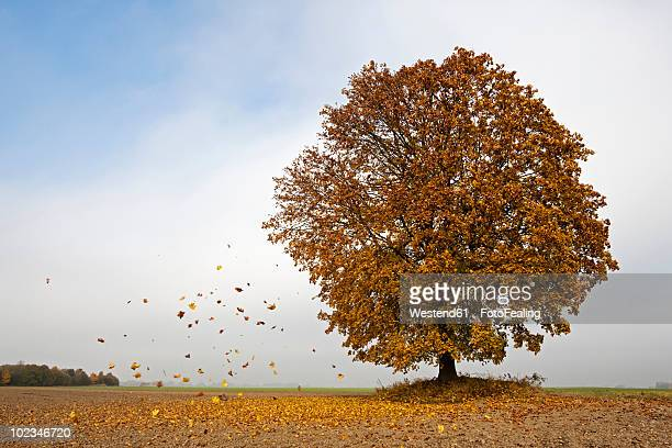 Germany, Bavaria, Maple tree in autumn