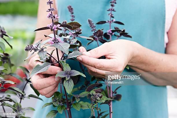 Germany, Bavaria, Munich, Mature woman with basil plant