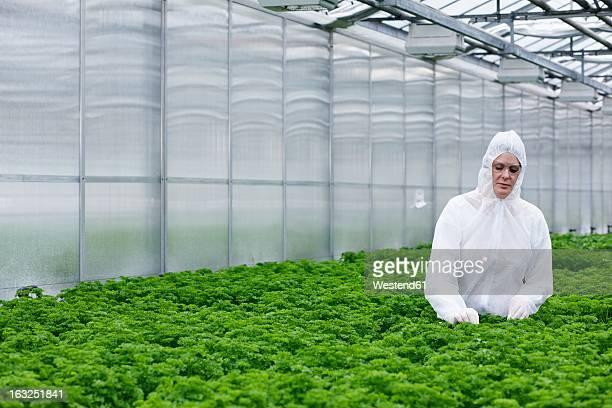 Germany, Bavaria, Munich, Scientist examining parsley plants in greenhouse