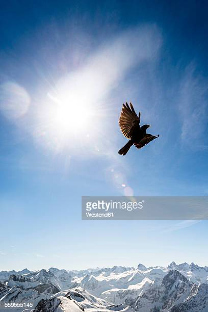 Germany, Bavaria, Nebelhorn, jackdaw in the sky