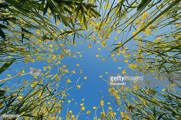 Germany, Bavaria, rape field (Brassica napus) in front of blue sky, view from below