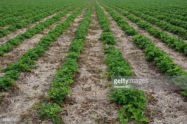 Germany, Bavaria, Riem, strawberry field