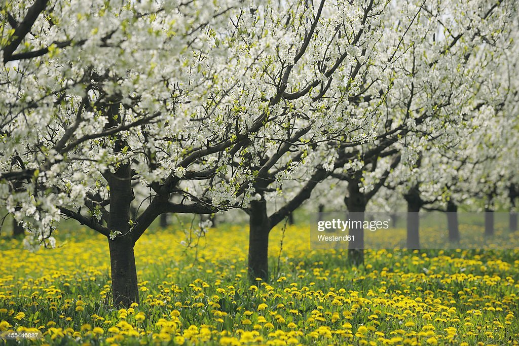 Germany bavaria row of cherry trees in orchid stock photo getty images - Romanian cherry tree varieties ...