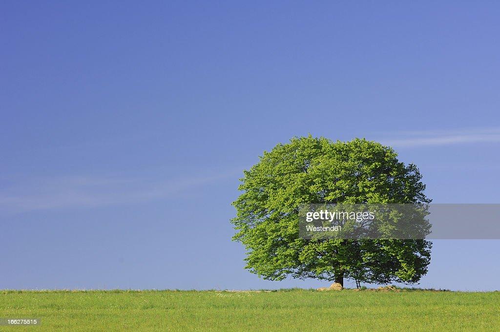 Germany, Bavaria, Tree in meadow : Stock Photo