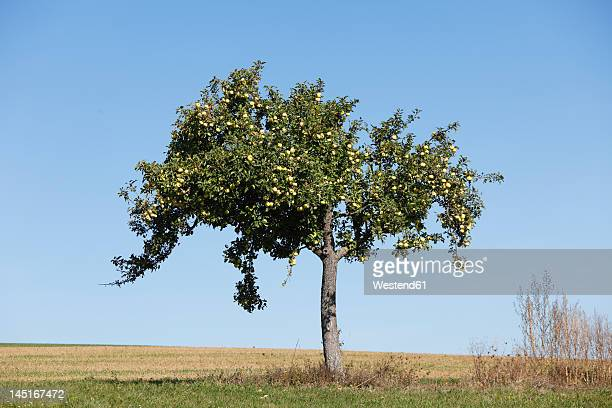 Germany, Bavaria, View of apple tree