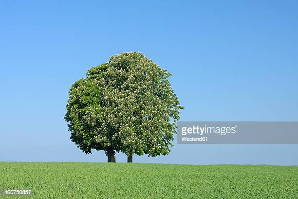 Germany, Bavaria, View of Horse chestnut tree