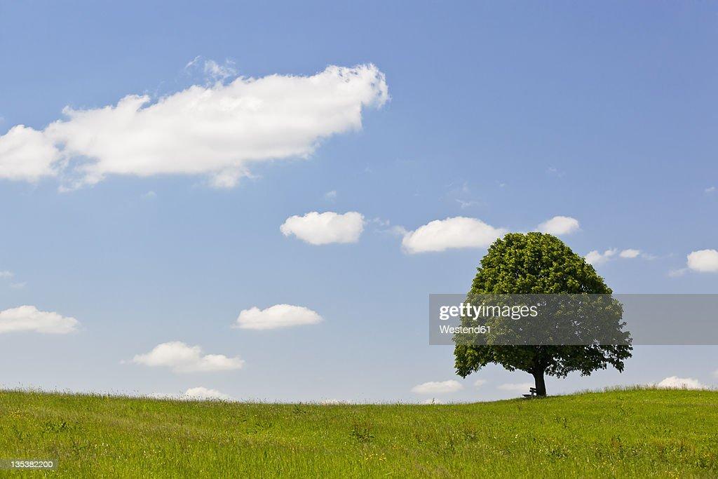 Germany, Bavaria, View of single Tilia tree in meadows : Stock Photo