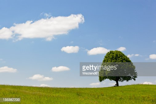 Germany, Bavaria, View of single Tilia tree in meadows