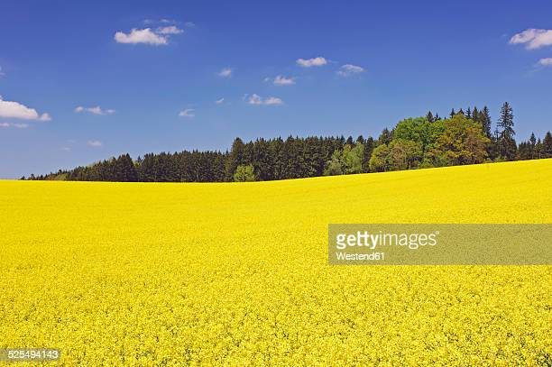 Germany, Bavaria, view to blossoming rape field