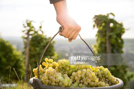 Germany, Bavaria, Volkach, man carrying bucket with harvested grapes