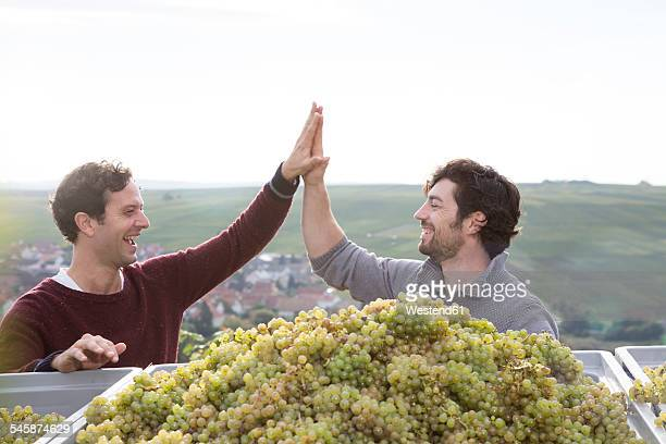 Germany, Bavaria, Volkach, two happy winegrowers high fiving at harvested grapes
