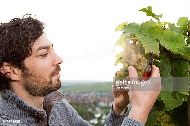 Germany, Bavaria, Volkach, winegrower cutting grapes