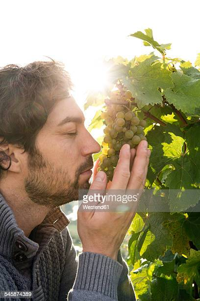 Germany, Bavaria, Volkach, winegrower smelling at grapes