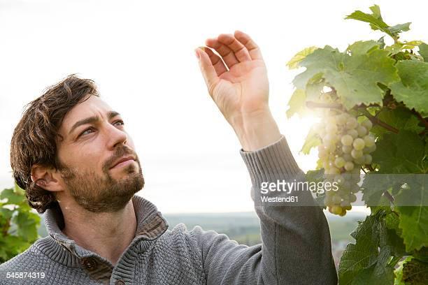 Germany, Bavaria, Volkach, winegrower testing grapes
