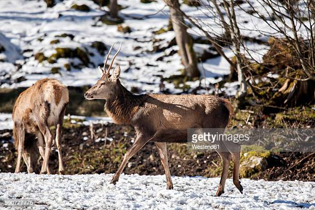 Germany, Berchtesgaden, red deer in winter