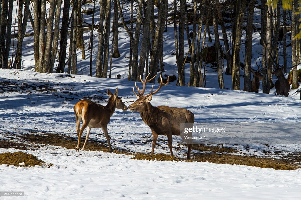 Germany, Berchtesgaden, red stag and doe in winter