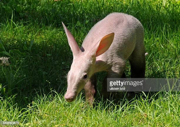 Germany Berlin Charlottenburg aardvark born on in the Berlin zoo