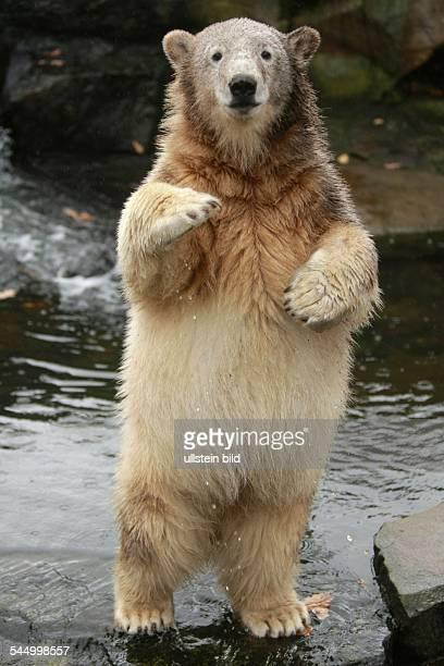 Germany Berlin Charlottenburg Berlin Zoo polar baer Knut upright in the water