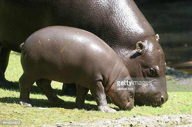 pygmy hippopotamus cub Paul with his mother Debby