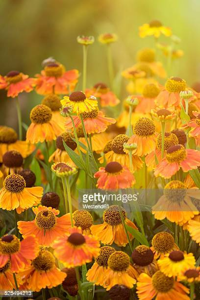 East Orange Focus >> Sneezeweed Stock Photos and Pictures | Getty Images
