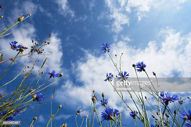 Germany, Cologne, Cornflowers agains cloudy sky