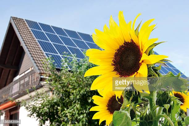 Germany, Cologne,  Sunflowers in front of house with solar panels