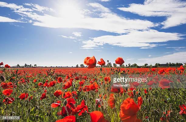 Germany, Cologne Widdersdorf, poppy field at sunlight