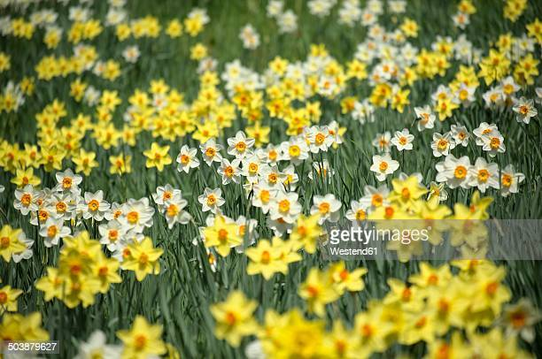 Germany, Constance district, Daffodils, Narcissus, on meadow