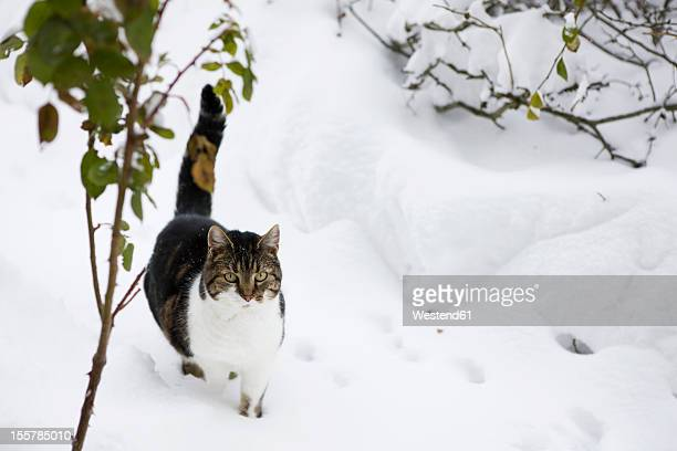 Germany, Cute cat walking through snow