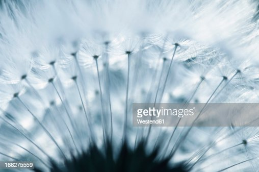 Dandelion (Taraxacum officinale) seed head, close-up