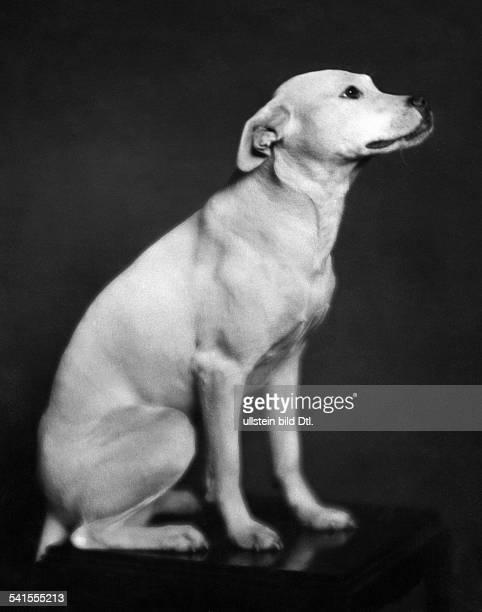 Germany Dog Bullterrier Published by 'Dame' 17 / 1927Vintage property of ullstein bild