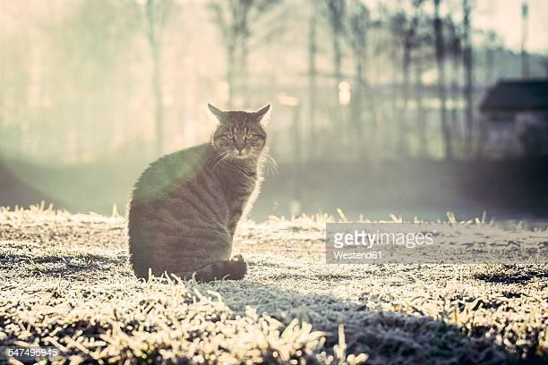 Germany, domestic cat in winter